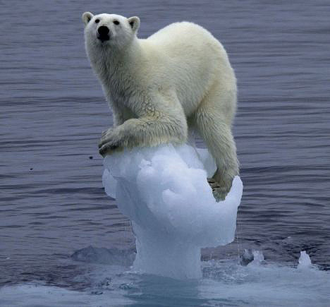 Polar bear clinging to iceberg