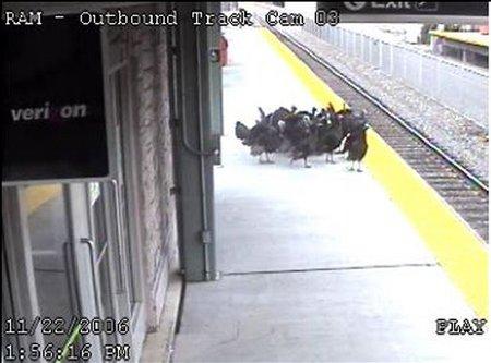 電車を待つ七面鳥